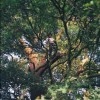 My friend Darien Davis, arboreal expert, up a tree on Hampstead Heath in London. July 12 2003.